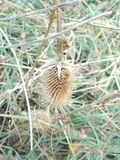 Greater burdock dried close up stock photography
