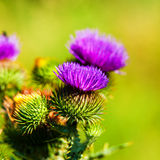 Greater burdock Royalty Free Stock Images