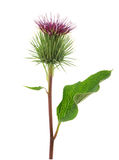 Greater Burdock flower Stock Images