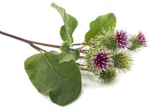 Greater Burdock flowers. Burdock flowers isolated on a white background Royalty Free Stock Photos