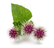 Greater Burdock flowers. Burdock flowers isolated on a white background Stock Image