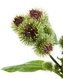 Greater Burdock. Inflorescence of Greater Burdock. on white background Stock Image