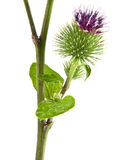Greater Burdock. Inflorescence of Greater Burdock. on white background Royalty Free Stock Photography