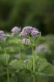 Greater Burnet Saxifrage Pimpinella major. In Scotland Stock Image