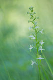 Greater butterfly orchid Stock Images