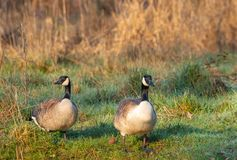 Greater canada goose royalty free stock photo