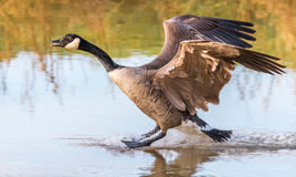 Free Greater Canada Goose Landing Royalty Free Stock Photography - 95516887