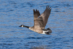 Greater Canadian goose flying above river Stock Photo