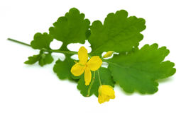 Greater celandine stock photo