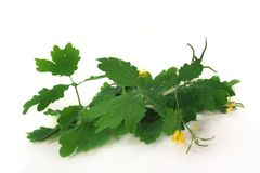 Greater Celandine Stock Images