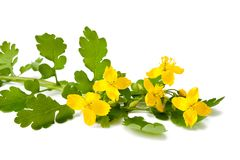 Greater celandine Stock Photography