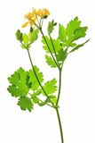 Greater Celandine (Chelidonium majus). Blooming greater celandine (Chelidonium majus), isolated against a white background Royalty Free Stock Photo