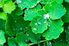 Greater celandine leaves. With water drops Royalty Free Stock Image