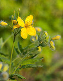 Greater Celandine Royalty Free Stock Photography