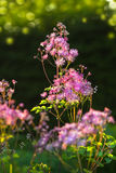 Greater- or Columbine Meadow Rue Stock Photos