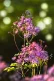 Greater- or Columbine Meadow Rue in spring. Thalictrum aquilegifolium 'Thundercloud', Greater Meadow Rue or Columbine Meadow Rue in evening sunshine in the Stock Photography