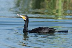 A greater cormorant in lake in morning. stock photography
