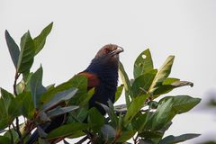 Greater coucal above the canopy Royalty Free Stock Photo