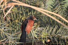 Greater coucal bird. Sitting on the palm tree. this bird colors is bright black and brown. this bird is found in open plains and mountainous areas. its foods is stock image