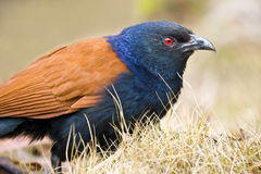 Greater Coucal birds. Is foraging Stock Images