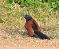 Greater Coucal Stock Image