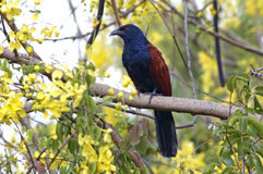 Greater Coucal Centropus sinensis Birds of Thailand Royalty Free Stock Photography