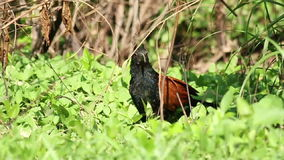 Greater Coucal (Centropus sinensis) stock footage