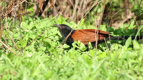 Greater Coucal (Centropus sinensis) 2 stock video footage