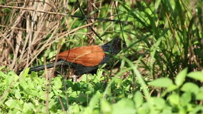 Greater Coucal (Centropus sinensis) 3 stock video