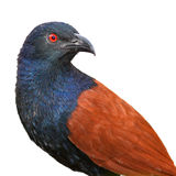 Greater Coucal Stock Images