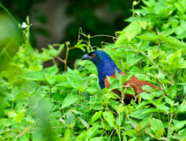 The greater coucal or crow pheasant Stock Image