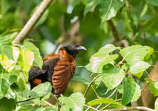 Greater coucal Stock Photo