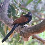 greater coucal or crow pheasant stock photos