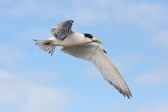 Greater Crested tern in flight Royalty Free Stock Photos