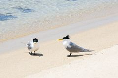Greater crested terns. On beach Stock Image