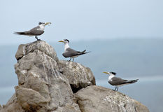 Greater crested terns courtship Stock Images