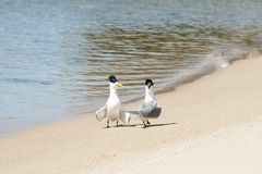 Greater crested terns. On beach Stock Photos