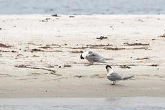 Greater Crested Terns (Thalasseus bergii) Stock Photos