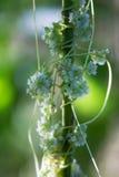 Greater dodder (Cuscuta europaea) on nettle stem stock image