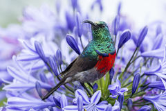 Greater Double-collared Sunbird Royalty Free Stock Photos