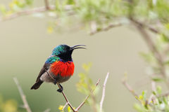 Greater Double-collared Sunbird (Cinnyris afer) Royalty Free Stock Photo