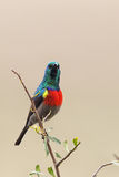 Greater Double-collared Sunbird (Cinnyris afer) Stock Images