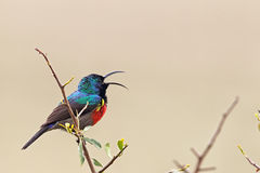 Greater Double-collared Sunbird (Cinnyris afer) stock photo