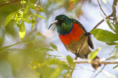Greater Double-collared sunbird Stock Image