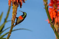 Greater double collared sunbird Stock Photo