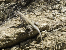 Greater Earless Lizard Stock Images