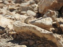 Greater Earless Lizard. Basking in the sun on a rock in Texas. This was taken in the Franklin Mountains in El Paso, Texas Stock Photo