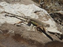 Greater Earless Lizard. Basking in the sun on a rock in Texas. This was taken in the Franklin Mountains in El Paso, Texas Royalty Free Stock Image