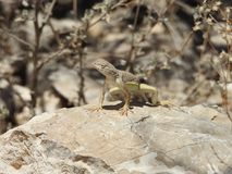 Greater Earless Lizard. Basking in the sun on a rock in Texas. This was taken in the Franklin Mountains in El Paso, Texas Royalty Free Stock Photo