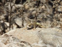 Greater Earless Lizard. Basking in the sun on a rock in Texas. This was taken in the Franklin Mountains in El Paso, Texas Stock Photography